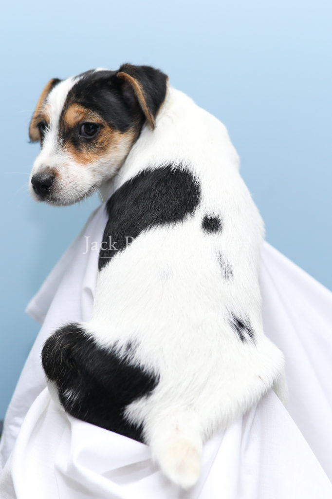 A tricolor, smooth coat Jack Russell Terrier puppy