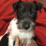 black and white rough coat Jack russell terrier puppy