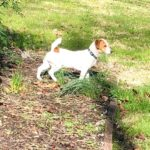 brown and white smooth coat Jack Russell Terrier puppy